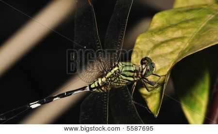 Macro Detailed Shot Of Dragonfly