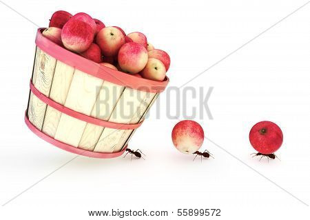 Ants carrying apples