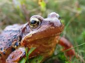 close-up of a common frog  with unusual peaty colour poster