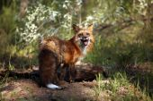 Adult Red Fox digging a den for her pups. poster