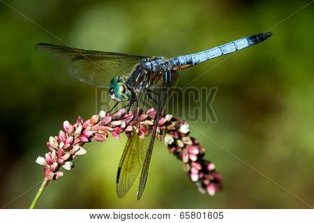 Blue Dasher On Pink Flower