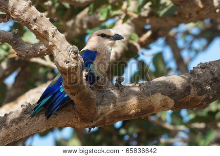 A Blue-Bellied Roller (Coracias cyanogaster) perched in a fig tree poster
