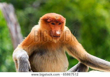 Endangered Proboscis Monkey In The Mangrove Forest Of Borneo
