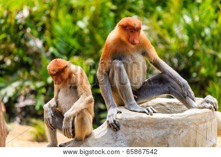 Pair Of Rare Proboscis Monkeys In The Mangroves