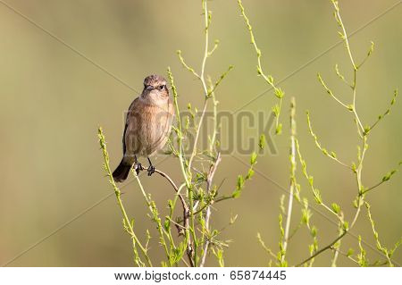 Female African Stonechat In Bright Colours Sitting On Grass Stem Ready To Fly