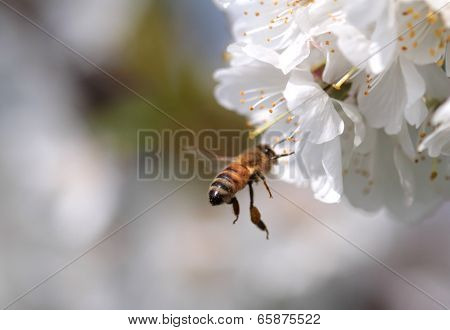 Honey bee collecting pollen from flowers, close up image poster