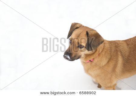 Cute dog in with snow on her nose.