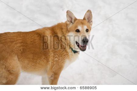 Siberian Husky mix panting in the snow