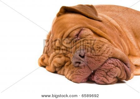 Sweet Dreams in bed of Dogue De Bordeaux poster