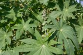 Ricinus communis Castor Bean Plant seeds to get castor oil medical poster
