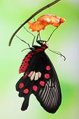 amazing moment about butterfly change form chrysalis - red Pachliopta poster