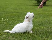 obedient puppy dog maltese breed with trainer poster