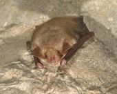 Greater mouse-eared bat ( Myotis myotis) in a cave poster