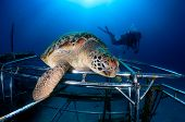 A Green Turtle rests on a new, shiny artificial reef poster