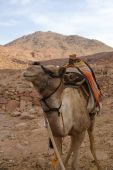 Camel in mount Sinai place of ten commandments and Moses poster