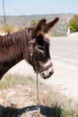 Head of a Greek donkey in landscape poster