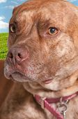 Very cute little Pit Bull Terrier mix dog poster