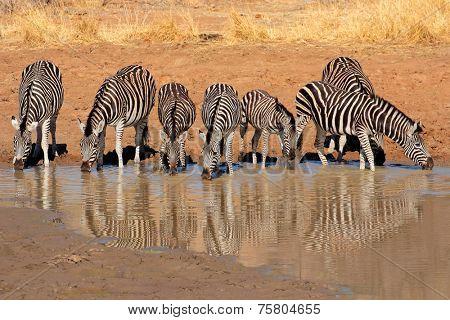 Plains Zebras (Equus burchelli) drinking water, Pilanesberg National Park, South Africa