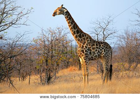A large giraffe (Giraffa camelopardalis), Kruger National Park, South Africa