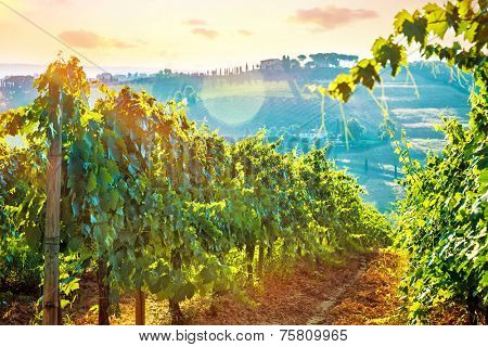 Beautiful grape field valley in mild sunset light, Italian wine production, agricultural landscape, beauty of autumn nature at harvest season