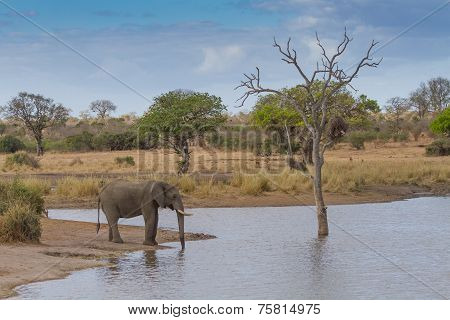 Elephant Drinking Water At Waterhole