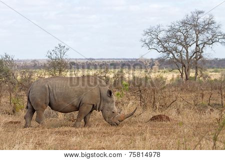 White Rhino Grazing At Kruger National Park, South Africa