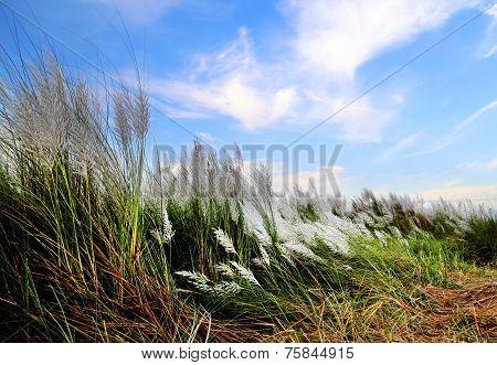 Saccharum Spontaneum Or Kans Grass