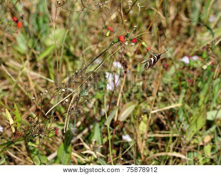 Zebra Longwing Butterfly on Wildflower