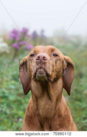 Vizsla Dog (hungarian Pointer) In A Field.