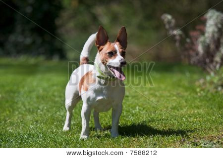 Jack Russell Terrier On A Lawn