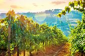 Beautiful grape field valley in mild sunset light, Italian wine production, agricultural landscape, beauty of autumn nature at harvest season poster