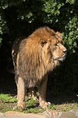 A young Asian sunlit lion looking away from the shadowy forest. The most dangerous beast and biggest cat of the world on rocky and greenery background. Beauty and greatness of the wild nature. poster