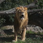 Prowling Asian lion with open chaps is coming out of the forest. The King of beasts biggest cat of the world. The most dangerous and mighty predator of the world. poster