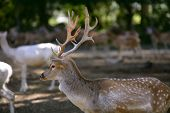 Deer male with good horns profile side view with females poster
