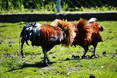 Two fighting roosters on the poultry farm. poster