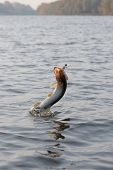 Hooked pike is jumping out of water, motion blur poster