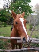 Brown horse with white patch behind the fence poster