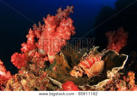 Dwarf Lionfish and colourful corals