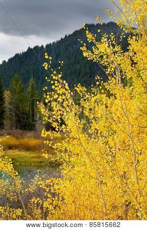Golden Aspens On The Snake River