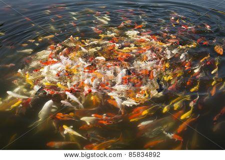Colorful Koi Fish