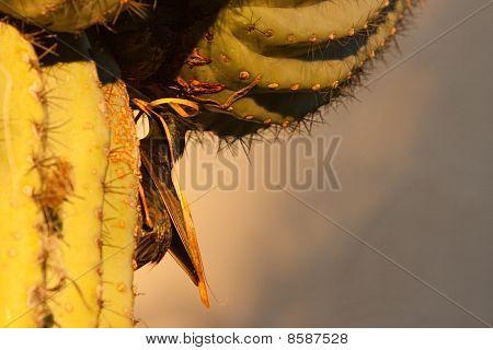 Nesting in cactus.