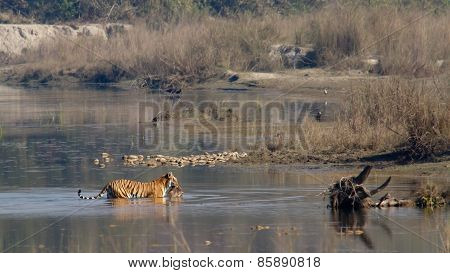 wild bengal tiger crossing the river with a prey, Bardia national park, Nepal poster