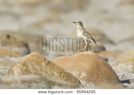 Paddyfield Pipit Bird In riverbank, Bardia national park Nepal