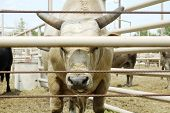 Bull in a pen at a rodeo arena. poster