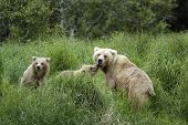 Brown bear sow and cubs standing on riverbank poster