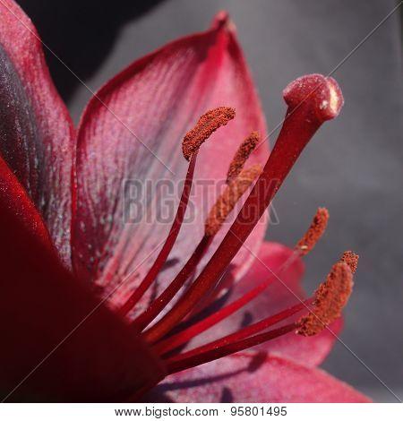 Dark Pink Lily Flower