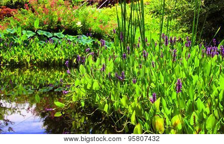 Pickerelweed (Pontederia cordata) in a pond