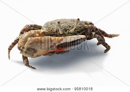 Fiddler Crab Of Red Sea