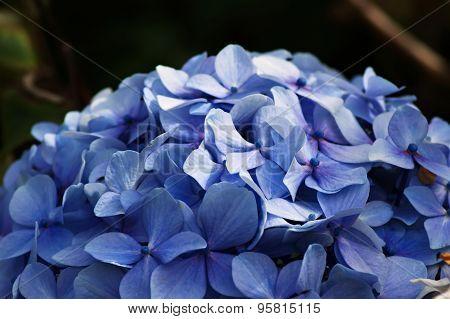 Blue Hydrangea Dome