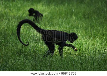 Geoffroy's spider monkey (Ateles geoffroyi). Wildlife animal.